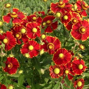 dzielżan, dzielżan uprawa, kwiaty poznań, kwiaty do ogrodu