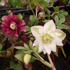 ciemiernik, ciemiernik rośliny poznań, kwiaty ozdobne, kwiaty ozdobne poznań