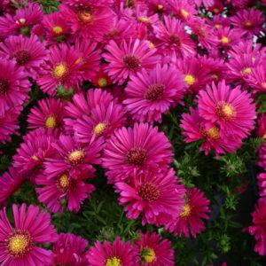 aster, astry, astry byliny, astry poznan, kwiaty poznań, astry poznań