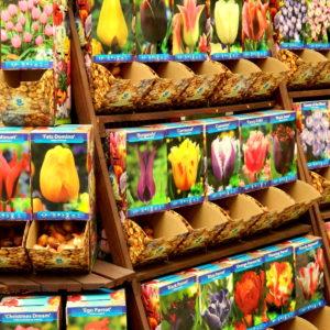cebulki-kwiatow